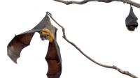 Kelelawar Mengetahui Kecepatan Suara Sejak Lahir
